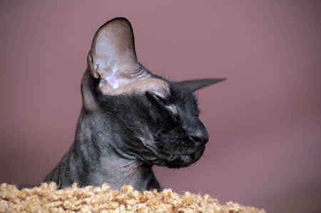 Black sphinx with big ears