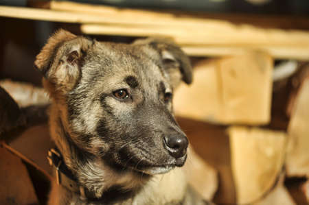 half breed: Half-breed puppy in a brown collar