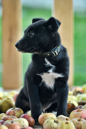 half breed: Cute black puppy  sitting with apples