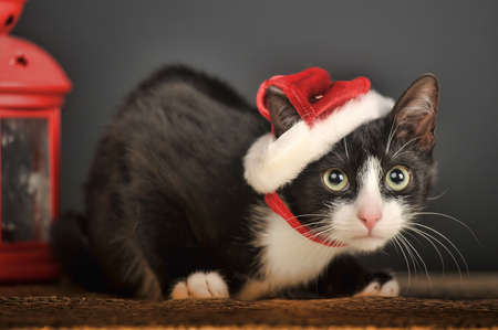 Beautiful cat in a Christmas cap  photo