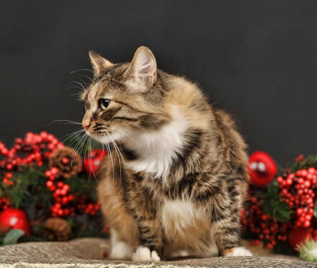 cat with red Christmas decorations photo