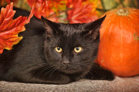 Black cat with orange pumpkins and autumn leaves photo