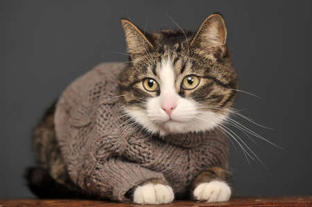 Cat in a gray sweater photo