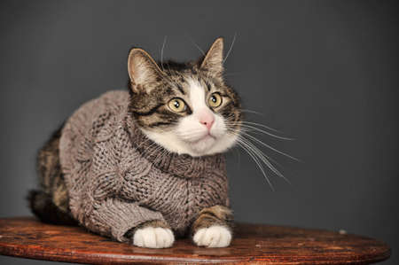 Cat in a gray sweater Stock Photo - 23653690