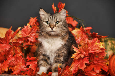 orenge: A pretty little calico kitten sits between pumpkins and autumn leaves  Stock Photo