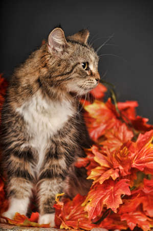 A pretty little calico kitten sits between pumpkins and autumn leaves  photo