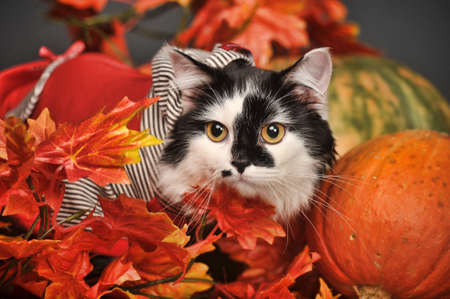 calico whiskers: A pretty little calico kitten sits between pumpkins and autumn leaves  Stock Photo