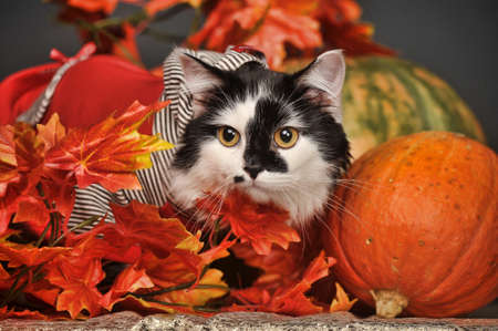 A pretty little calico kitten sits between pumpkins and autumn leaves  Imagens