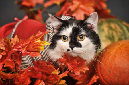 housecat: A pretty little calico kitten sits between pumpkins and autumn leaves  Stock Photo