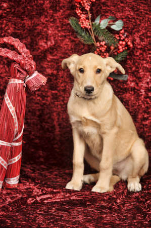 Beige puppy on red Christmas background photo