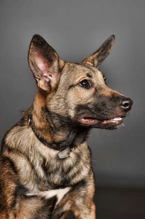 Charming mongrel half-breed shepherd puppy Stock Photo - 23685903