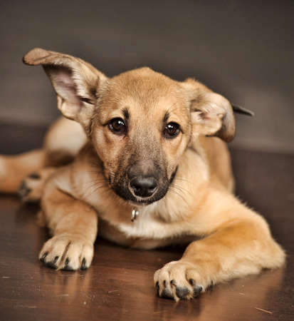 Charming mongrel half-breed shepherd puppy photo