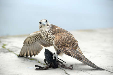 falco peregrinus: falcon Stock Photo