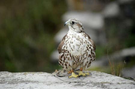 sparrowhawk: falcon Stock Photo