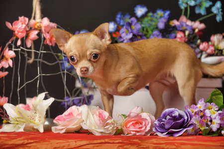 Chihuahua and flowers in the studio photo