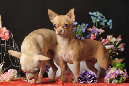 Two Chihuahuas posing against the backdrop of flowers in the studio  photo