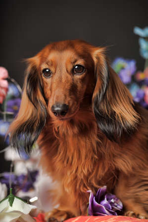Long-haired dachshund in studio photo