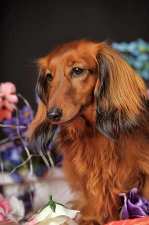 long legged: Long-haired dachshund in studio