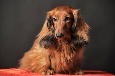 Long-haired dachshund in studio