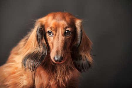 weenie: Long-haired dachshund in studio
