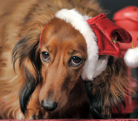 Beautiful long-haired brown dachshund in a New Year s cap photo
