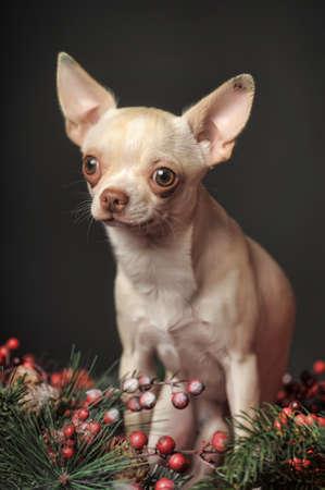 Chihuahua sitting among Christmas decorations  photo