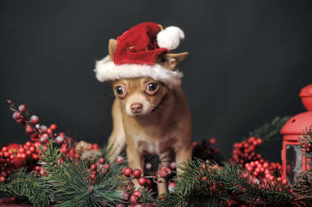 pet new years new year pup: Christmas portrait of a Chihuahua in christmas hat