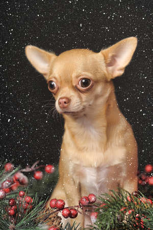 Chihuahua sitting among Christmas decorations  photo