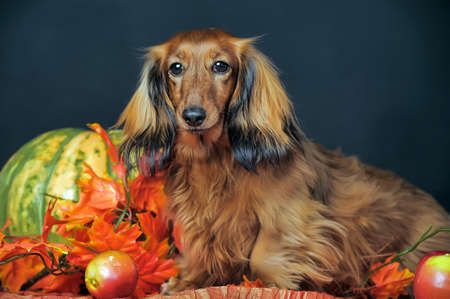 long-haired dachshund in the autumn  photo