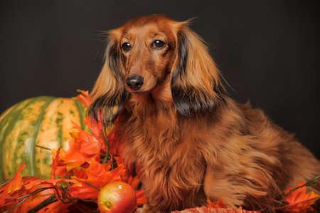 długowłosy jamnik jesienią Zdjęcie Seryjne