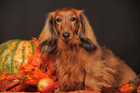 długowłosy jamnik jesienią
