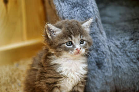 Charming little gray kitten with a white breast photo