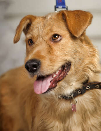 red-haired terrier dog crossbreed photo