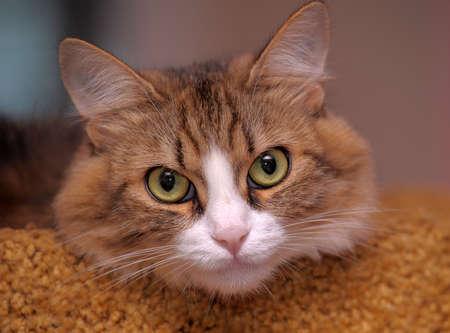 portrait of a beautiful fluffy cat photo