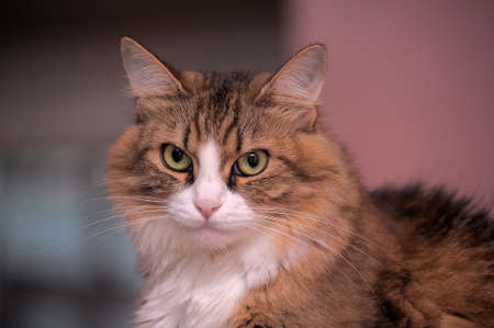 portrait of a beautiful fluffy cat Stock Photo