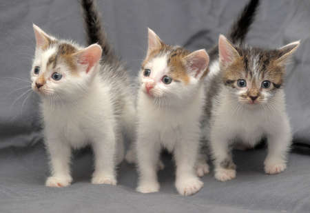 Three small white with gray kitten funny photo