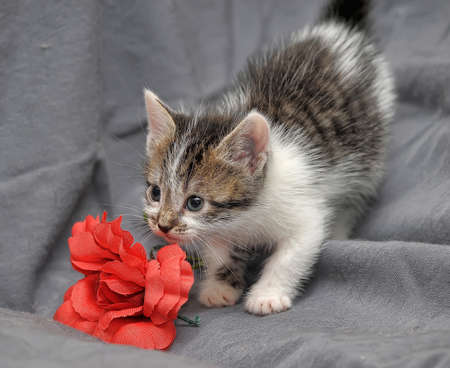 White with gray kitten funny and red flower photo