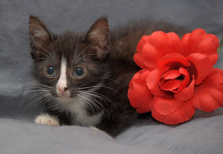 small black with a white stripe on the muzzle kitten with red carnation close photo