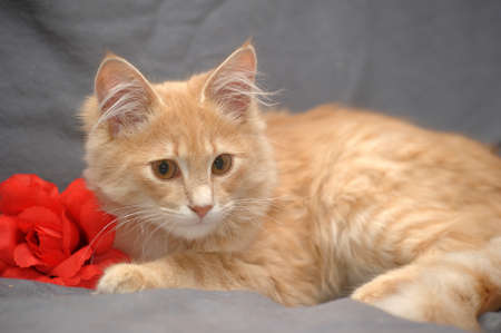 Portrait of a cute little red cat  photo