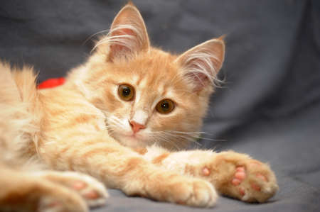 red fluffy cat young photo