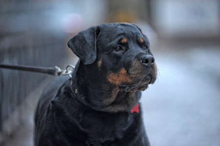 Beautiful adult rottweiler in winter photo