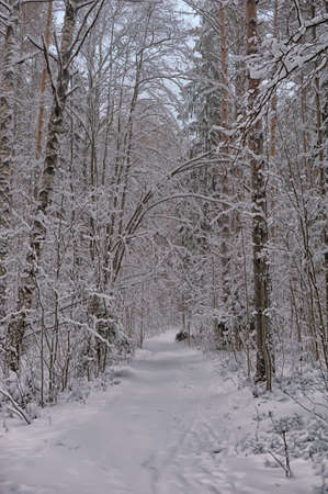 path in a pine forest in winter with snow photo