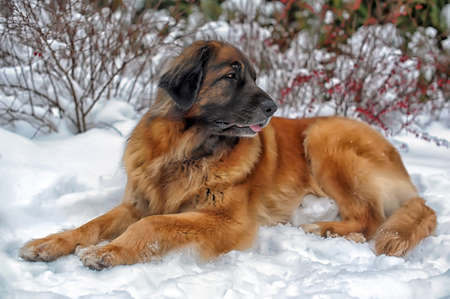 A young leonberger posing against the background of a winter landscape  photo