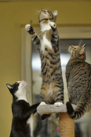 whisker: three cats playing