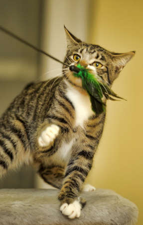 Cat playing with a feather
