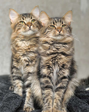 two beautiful fluffy striped kitten photo