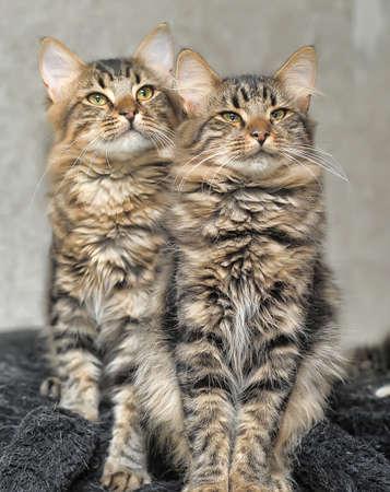 two beautiful fluffy striped kitten photo