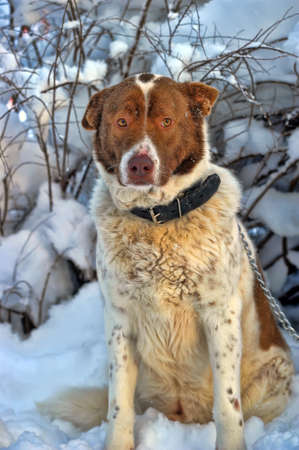 white   red purebred big dog on winter background photo