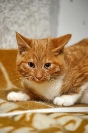young red cat with a white breast photo