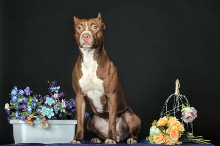 gardian: American Staffordshire terrier  18 months  in front of dark background  Stock Photo